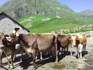 Venerdì 26 giugno e sabato 27 giugno – Carico Alpe Piora